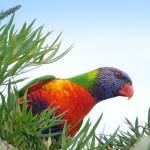 Rainbow Lorikeet (Foto: Divulgação)