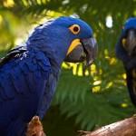 Arara Azul (Foto: Divulgação)