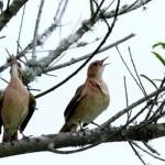 Passarinhos cantando. (Foto:Divulgação)