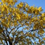 Árvore florida durante a primavera. (Foto:Divulgação)