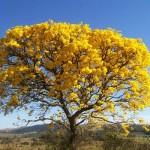 O ipê é um dos símbolos da primavera. (Foto:Divulgação)