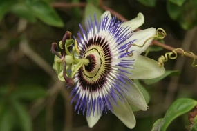 Passiflora: Saiba como preparar, benefícios