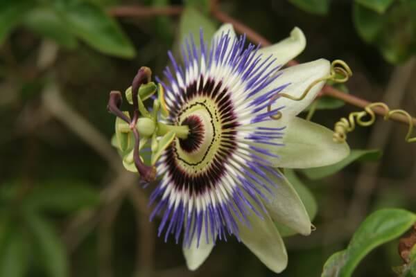 A passiflora é a planta do maracujá. (Foto: divulgação)
