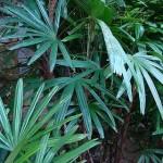 Detalhe das folhas da Palmeira-ráfia (Foto: Divulgação)