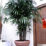 Meia sombra é ideal para a Palmeira-ráfia (Foto: Divulgação)