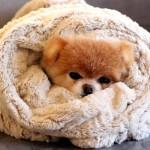Boo, eleito o cachorro mais fofo do mundo. (Foto:Divulgação)