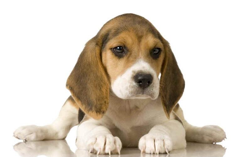 O Beagle não é um cão agressivo porém gosta muito de morder (Foto: Divulgação)