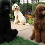 Dê muita atenção ao seu poodle a fim de identificar qualquer problema de ordem física ou comportamental (Foto: Divulgação)