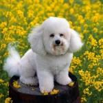 Saiba mais sobre os cuidados necessários a ter com um Poodle (Foto: Divulgação)