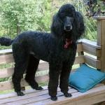 Elegante poodle preto (Foto: Divulgação)