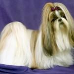Saiba mais sobre essa magnífica raça de cão e tome os cuidados necessários com o seu novo amiguinho (Foto: Divulgação)