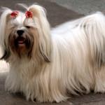 Caso você não queira aparar os pelos do Lhasa Apso por questões estéticas, prenda-os com lacinhos especiais para cães (Foto: Divulgação)