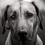 Cachorro fazendo pose melancólica (Foto: Divulgação)