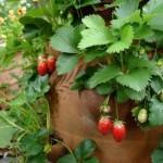 Como cultivar morangos em vasos