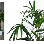 Palmeira ráfia como cuidar dicas