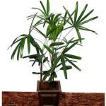 Palmeira ráfia como cuidar dicas 2