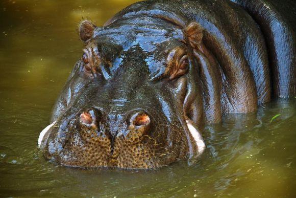 O hipopótamo é uma das estrelas do parque (Foto: Divulgação Fundação Parque Zoológico de São Paulo)