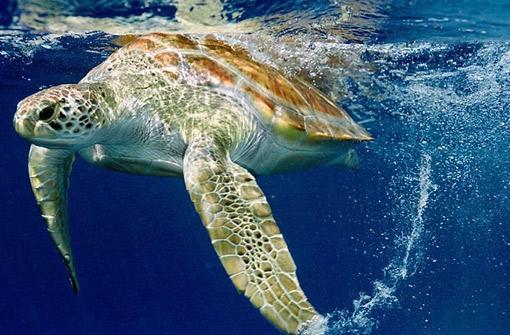 O Projeto Tamar é um dos programas mais procurados por quem vai visitar o Arquipélago. (Foto: Reprodução)