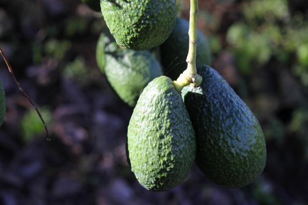 Assim como o Abacate, outros alimentos ajudam no combate ao colesterol (Foto: Divulgação)
