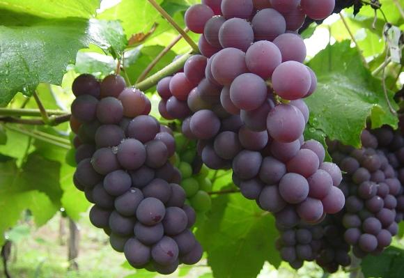 Não dê frutas para cães e gatos, especialmente uvas. (Foto Ilustrativa)