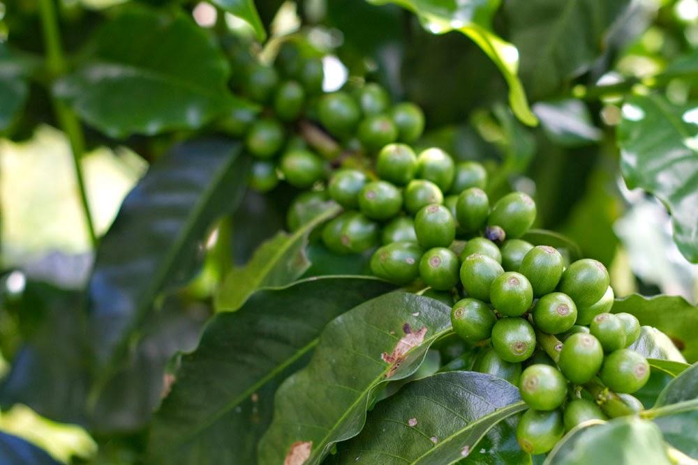 Confira como o café verde pode ajudar na sua saúde (Foto: Ilustração)