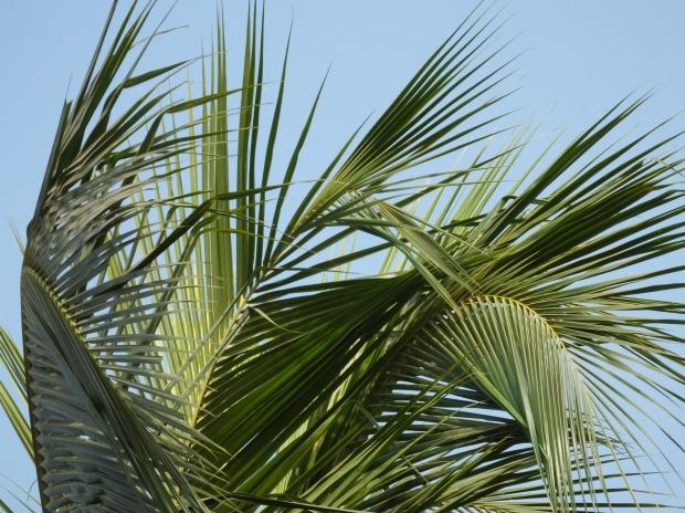 Palmito vem da árvore (Foto: Divulgação)