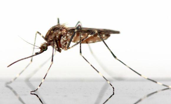 Além do zika vírus, o Aedes aegypt também transmite a dengue e a febre chikungunya (Foto Ilustrativa)