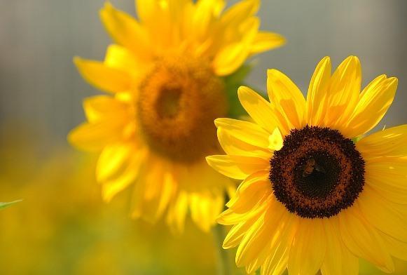 O jardim com girassóis precisa receber pelo menos quatro horas de sol por dia. (Foto Ilustrativa)