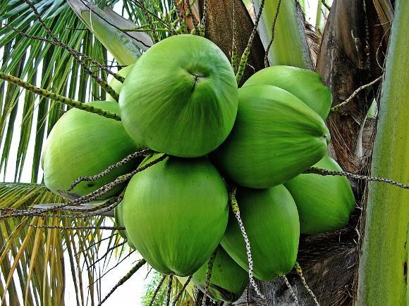 O óleo de coco ajuda a restaurar o cabelo danificado. (Foto Ilustrativa)
