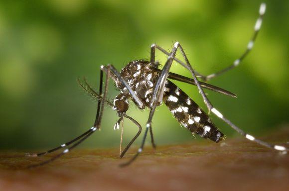O mosquito transmissor da Dengue é o mesmo que transmite a Zika (Foto Ilustrativa)