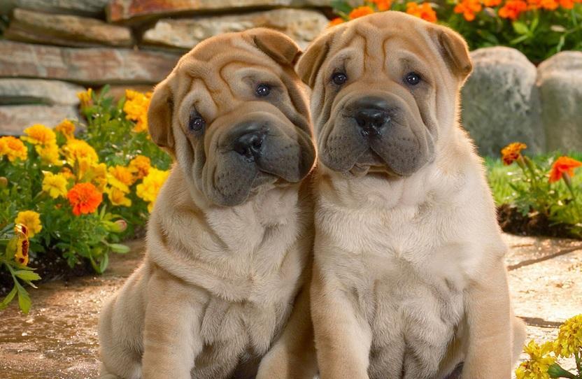 Raças de cachorros 000