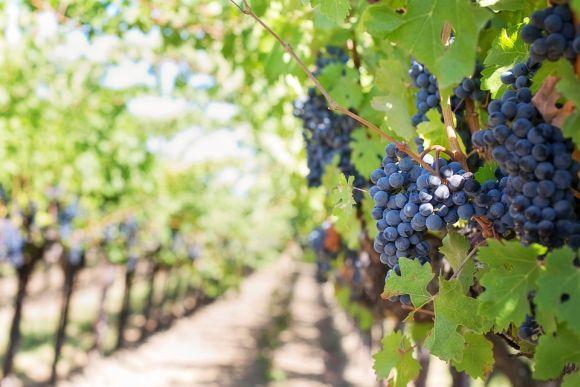 Grande fonte de açúcar, a uva pode aumentar a produção de gases, se consumida em excesso (Foto Ilustrativa)