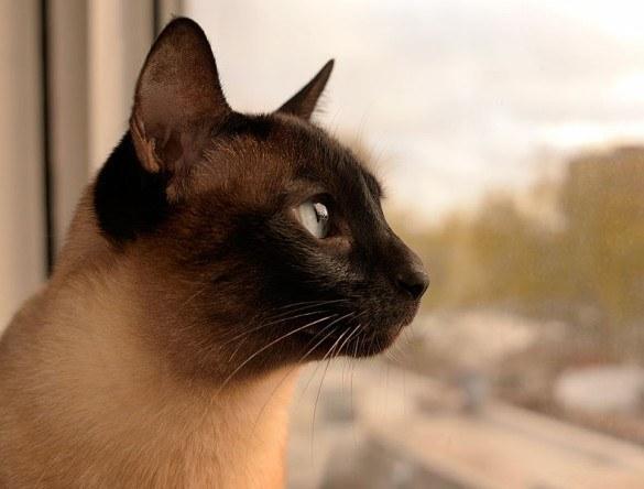 Gato siamês cuidados, dicas para cuidar (Foto: Reprodução/Mundo dos Animais)