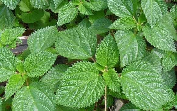 A urtiga é uma poderosa planta medicinal. (Foto Ilustrativa)