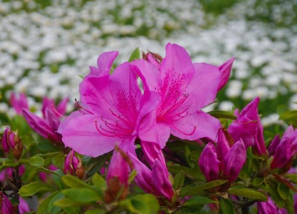 Flor de Maio (Foto Ilustrativa)