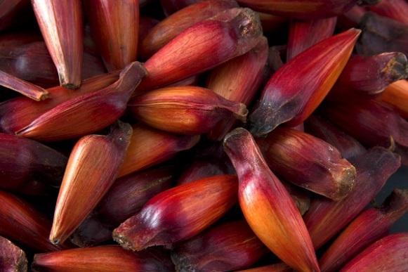 É época de comer pinhão! Conheça os benefícios da semente. (Foto Ilustrativa)