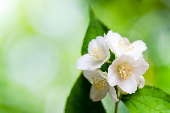 O jasmim é uma ótima planta para ter em casa. (Foto Ilustrativa)
