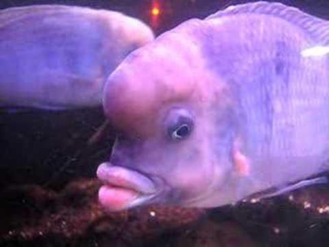 Peixe com lábio de humanos (Foto: Divulgação)