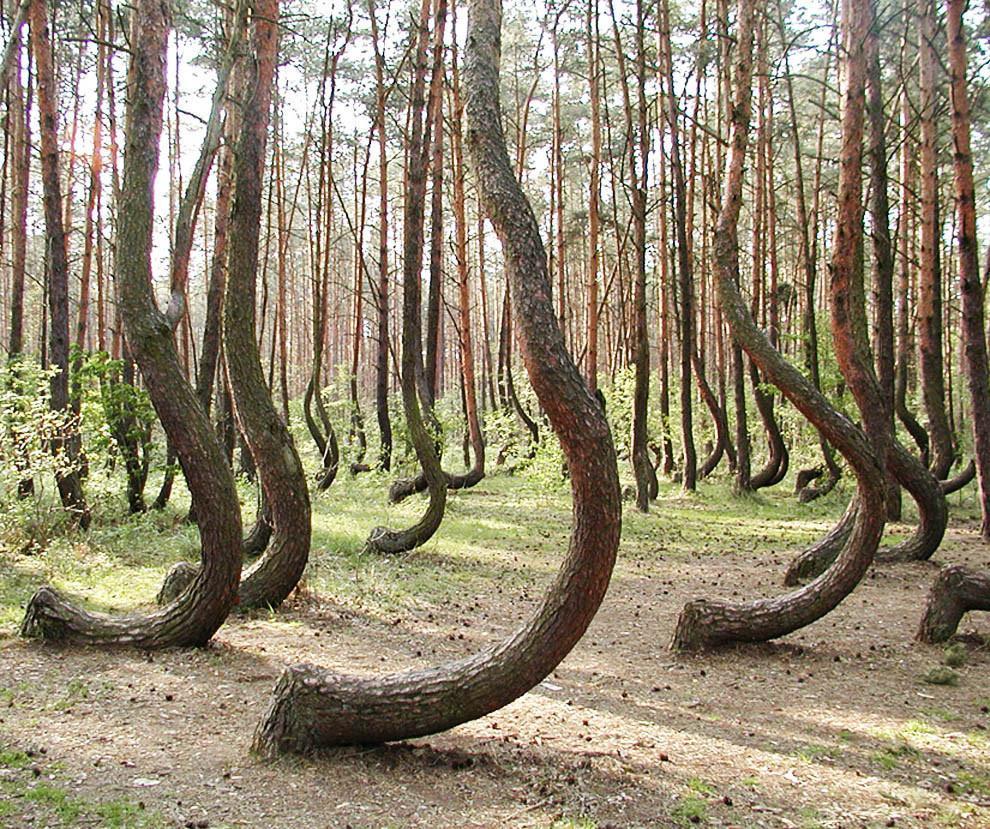 A Floresta Torta, na Polônia, tem mais de 400 pinheiros dobrados. (Foto: Divulgação)