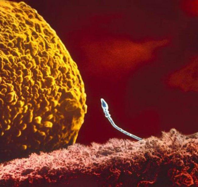O encontro entre o espermatozoide e o óvulo dá a partida para a formação de um bebezinho (Foto: Divulgação)