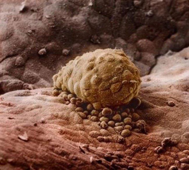 Esse é o momento exato que o espermatozoide se prende de óvulos (Foto: Divulgação)