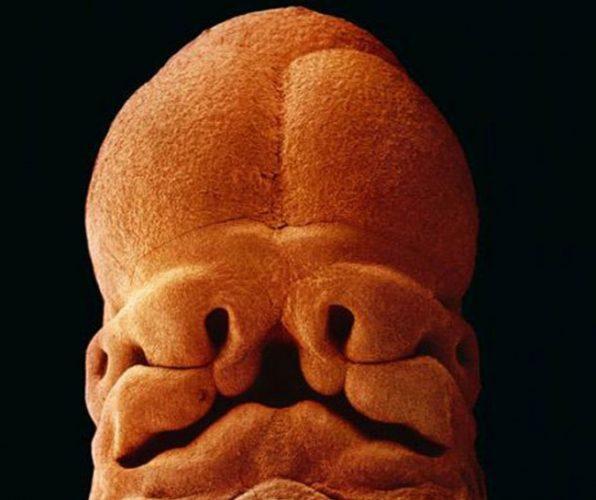 Com 9 cm de comprimento já dá para saber aonde ficarão os lábio, nariz e orelha (Foto: Divulgação)
