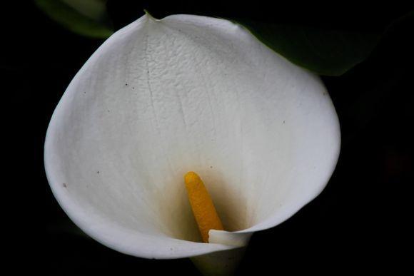 O copo-de-leite é bastante usado nas cerimônias (Foto Ilustrativa)