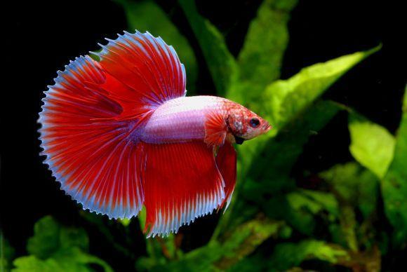 O Peixe Beta é uma boa para quem é do signo de Câncer (Foto Ilustrativa)