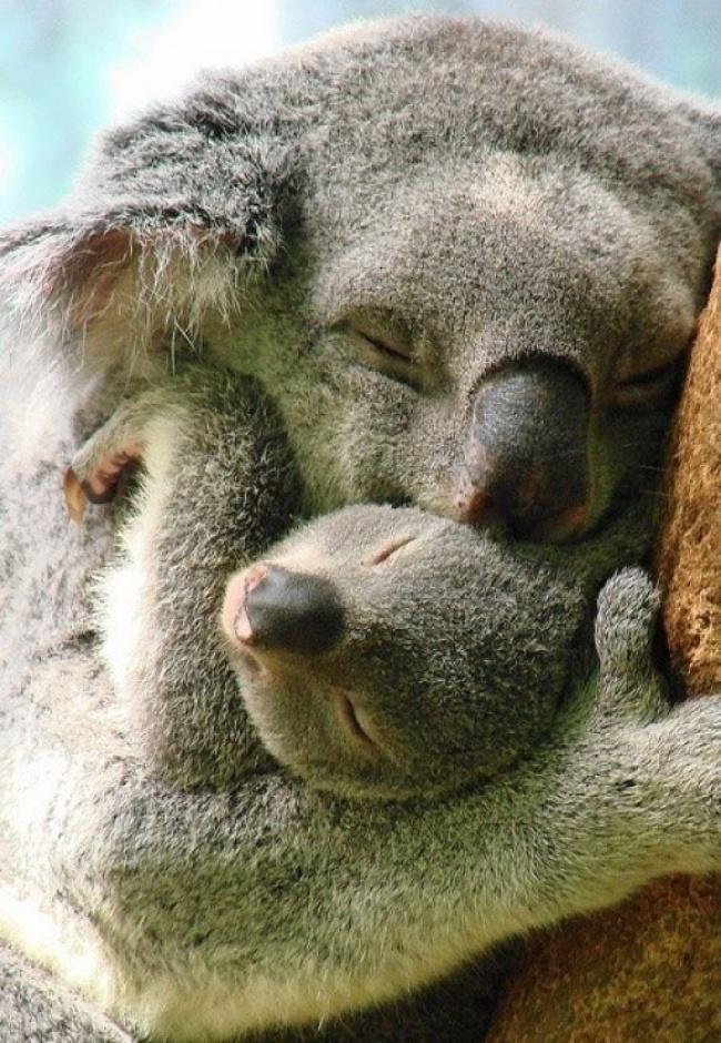 Como é que faz para não morrer de amores com esses coalas lindos? Não tem como né?! E emocionante ver como o Reino Animal pode mostrar momentos de ternura (Foto: Divulgação)