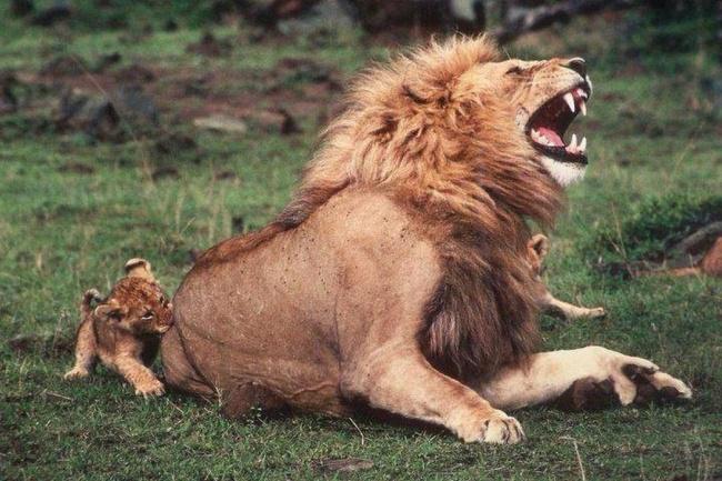 Quem aqui teria audácia de morder o seu pai ou mãe? Esse leãozinho teve, mas foi tudo brincadeirinha (Foto: Divulgação)