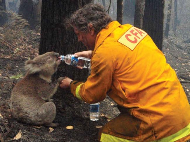 No ano de 2009 bosques australianos passaram por grandes incêndios que acabaram sendo a causa da morte de centenas de animais. Esse coala sobreviveu e um bombeiro estava dando água para ele em um ato de amor e carinho (Foto: Divulgação)