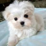 213848 raça de cachorro 150x150 Raças de Cachorros Pequenos   Fotos