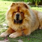 213848 raça de cachorro chow chow 150x150 Raças de Cachorros Pequenos   Fotos