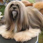 213848 raça de cachorro lhasa apso 150x150 Raças de Cachorros Pequenos   Fotos